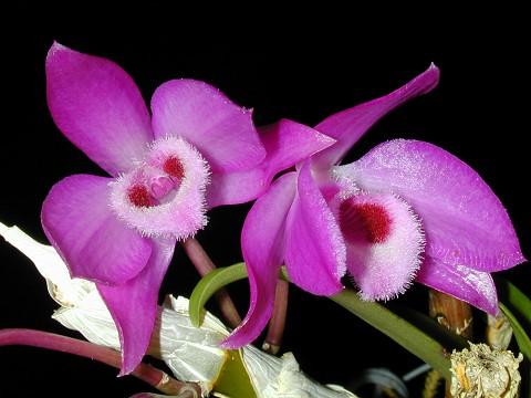 "Dendrobium parishii Bloom size 2/"" basket NICE SPECIES"