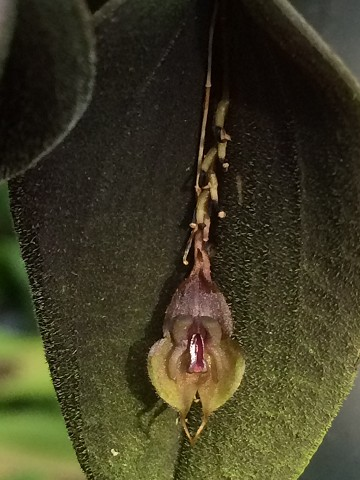 Lepanthes manabina
