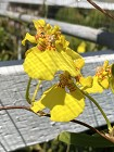 Oncidium - globuliferum