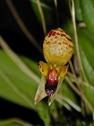 Bulbophyllum - maquilingense yellow