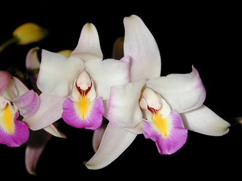 Laelia  albida `Blue Boy`