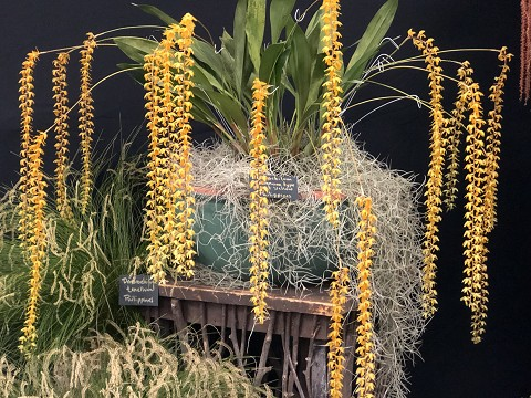 Dendrochilum cobbianum type giant  yellow