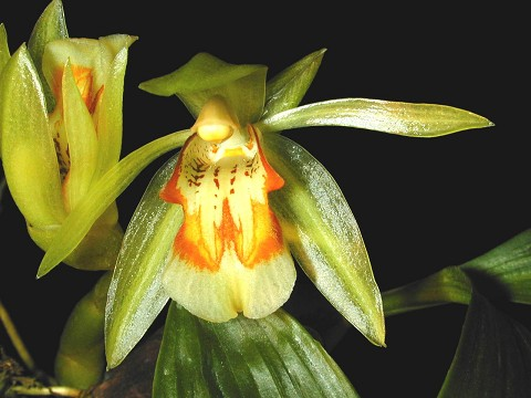 Coelogyne assamica (species Cambodia )