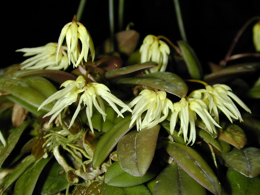 Bulbophyllum - purpurascens
