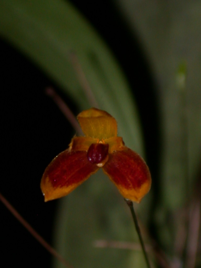 Bulbophyllum - catenulatum (red/yellow)