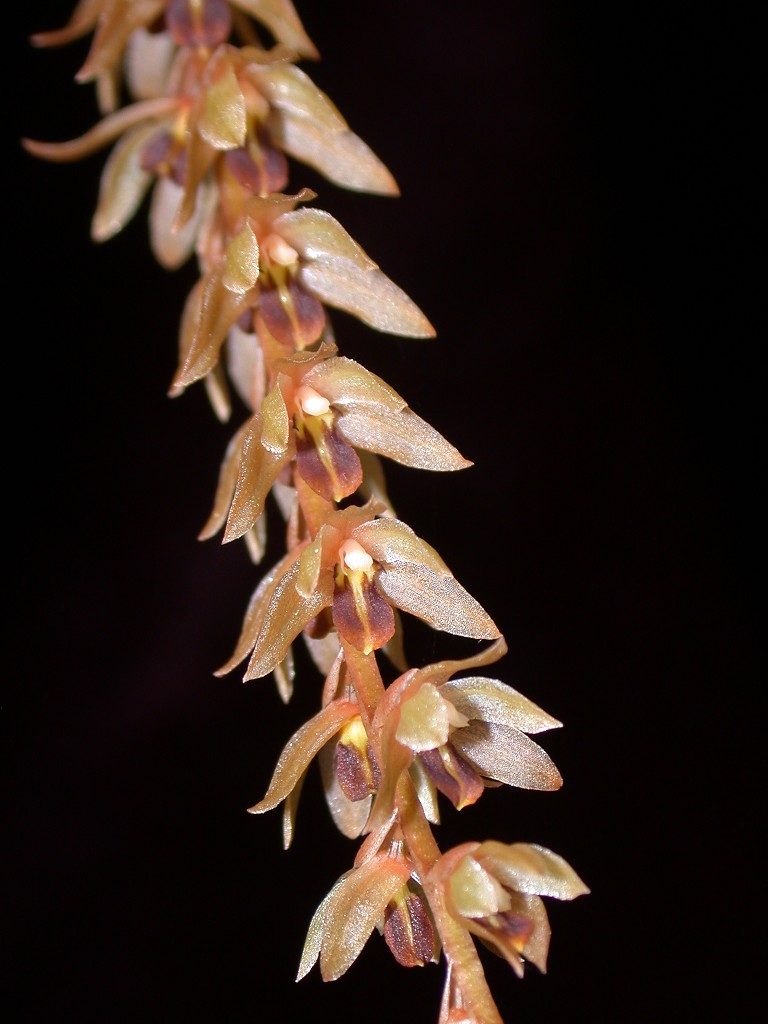 Dendrochilum species large (Malaysia)