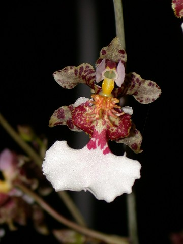 Oncidium warmingii